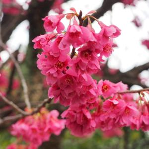 緋寒桜が満開