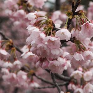 兼六園の彼岸桜