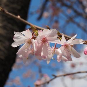 桜の開花宣言「金沢」