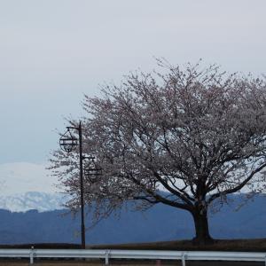 手取川「堤桜」でお花見