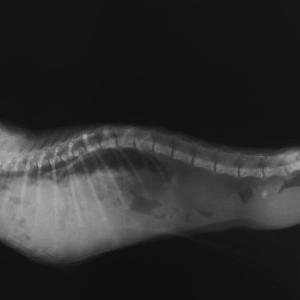 戻せない臓器 ~子猫と横隔膜ヘルニア~