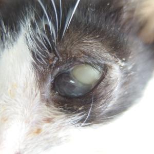 子猫とタイミング ~眼球内蓄膿と摘出~