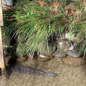 庶民の田園調布には鯉の泳ぐ川と湧水がある