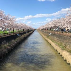 愛知県稲沢市にある『桜ネックレス』でキレイな桜並木見てきましたよ。