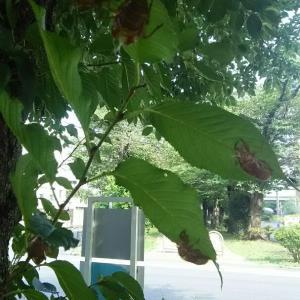 セミの成る木