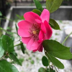 うちの薔薇もひっそりと。