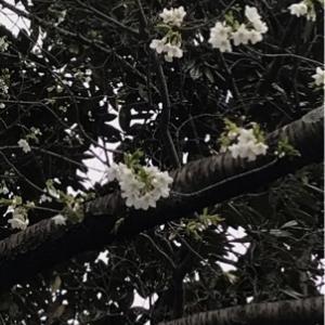 白い桜と桜色のさくら