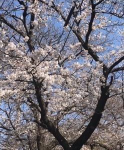東川の花見