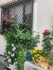 近所のバラが美しい理由