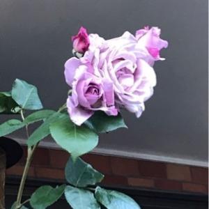 青いバラと感謝の言葉