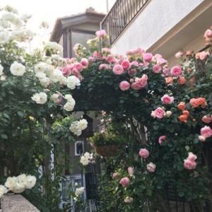 まだまだ薔薇は盛りです