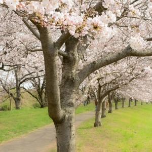 大好きな桜の撮影♥