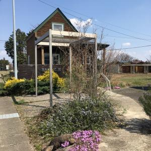 会社のお庭、芝桜が咲きました♪