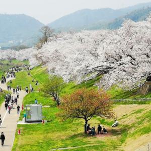 【京都】背割堤の桜2021