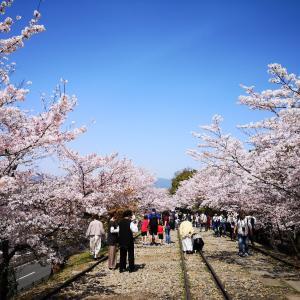 【京都】拝観無料の絶景桜めぐり♪