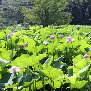横浜 三渓園の蓮の花
