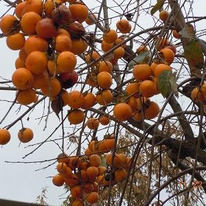 中之条駅に恒例の吊るし柿