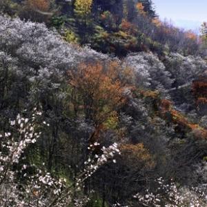 今が見頃、紅葉と桜。