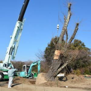 八ッ場ダムから移植桜が満開