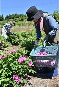 食用薔薇収穫へ