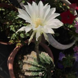 純白の花だって