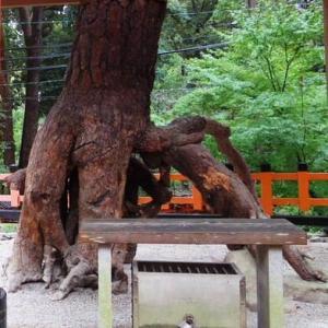 伏見稲荷の「根上りの松」
