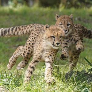 デュラはどこにいてもちび達を行く見ています 6月中旬のデュラ親子 多摩動物公園
