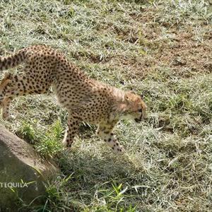 ハヤトとジャック キクちゃんとエビス 6月中旬のデュラ親子 その2 多摩動物公園