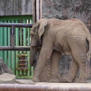 シャワーの季節はそろそろお仕舞いです 9月上旬のアフリカゾウ舎 多摩動物公園