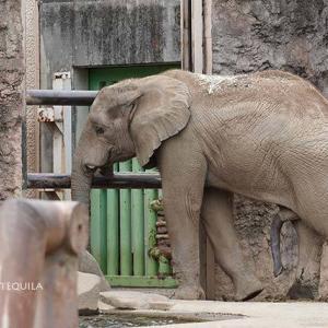 ご機嫌斜めな砥夢君 9月中旬のアフリカゾウ舎 多摩動物公園