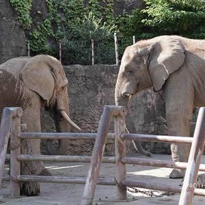 砥夢君とチーキ 9月中旬のアフリカゾウ舎 その3 多摩動物公園