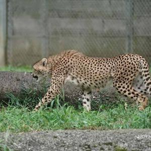 あちこちで追いかけっこが始まります 9月中旬のデュラ親子 その4 多摩動物公園