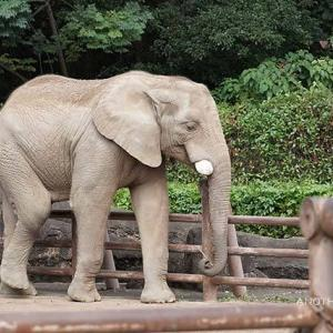 ミカンがお口に入る瞬間 10月中旬のアフリカゾウ舎 多摩動物公園