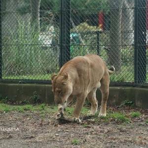 やんちゃな三兄弟 トモ親子 その2 10月下旬 大森山動物園 ライオン