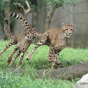 あちこちで追いかけっこが始まります 9月中旬のデュラ親子 その5 多摩動物公園