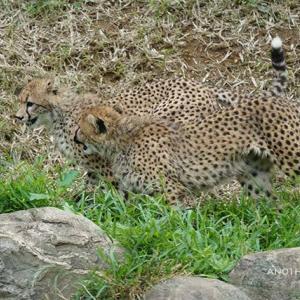 ハヤトの下から抜け出せなかったジャック 6月下旬のデュラ親子 その2 多摩動物公園
