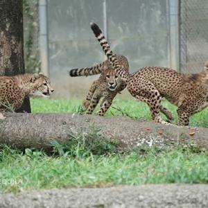 フットワーク抜群のキクちゃん 9月中旬のデュラ親子 その6 多摩動物公園