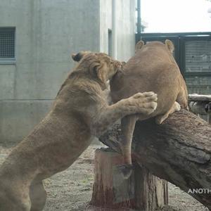 やんちゃな三兄弟 トモ親子 その3 10月下旬 大森山動物園 ライオン