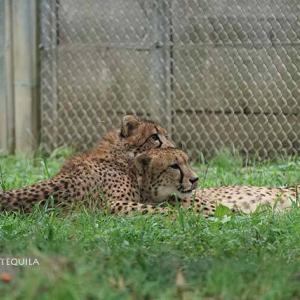 やたらと狙われるエビス 9月中旬のデュラ親子 その7 多摩動物公園
