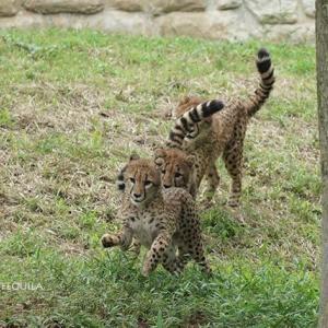 連鎖的に動き出すデュラ親子 6月下旬のデュラ親子 その3 多摩動物公園
