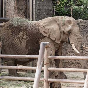 お昼ご飯の時間です 10月中旬のアフリカゾウ舎 その4 多摩動物公園