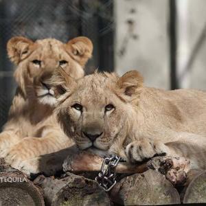 やんちゃな三兄弟 トモ親子 その4 10月下旬 大森山動物園 ライオン
