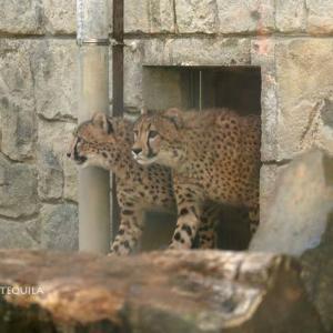 不安な様子のキクちゃんとロン 親子別け翌日のチーター舎 その2 11月中旬 多摩動物公園