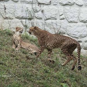 ジャックの親子別け前日のデュラ親子 その5 多摩動物公園 チーター