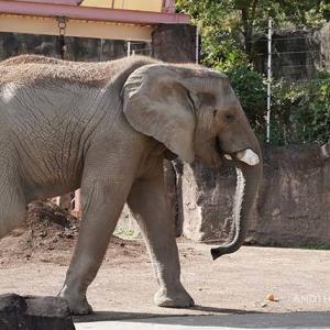 枝を貰いました 11月上旬のアフリカゾウ舎 多摩動物公園
