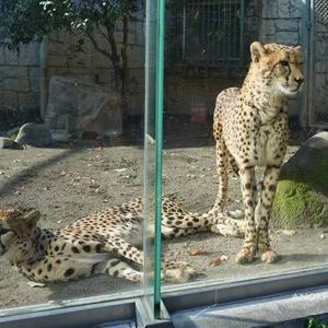 ブランカとコハクの関係はちょっと前進 コハク&ブランカ その2 12月下旬 多摩動物公園 チーター