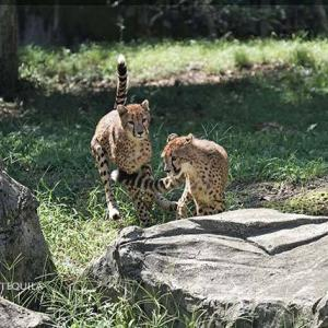 ちびっ子コンビのキクちゃんとハヤト 9月中旬のデュラ親子 その7 多摩動物公園