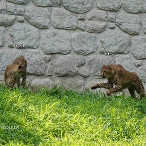 斜面でじゃれるちび達 ロンvsエビス 8月中旬のデュラ親子 その3 多摩動物公園 チーター