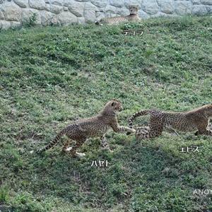 じゃれ合いにはめっぽう弱いエビス君 10月中旬のデュラ親子 その4 多摩動物公園 チーター