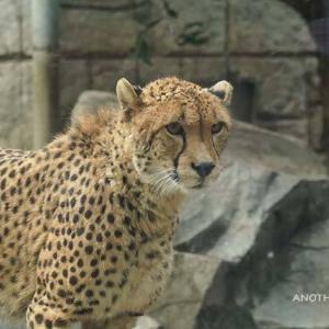 仲良くなったら良いね 1月下旬のブランカとコハク その4 多摩動物公園 チーター